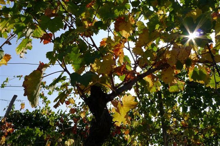 Aviè - Lo stesso sole che colore d'oro i grappoli del Moscato.