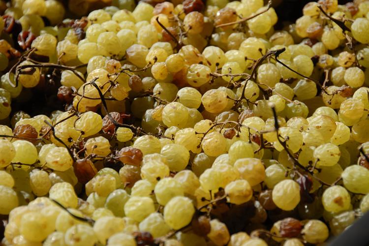 Aviè - Che colora d'oro i grappoli.