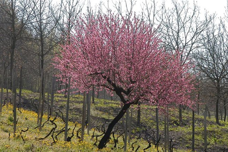 Goj - E gli alberi in primavera giocano tra il rosa e il candore dei frutti.