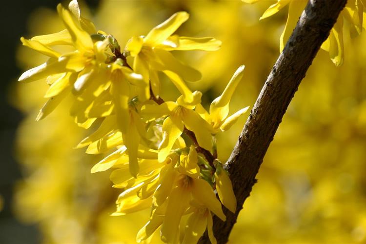 Moscato - Per profumi intensi di fiori.